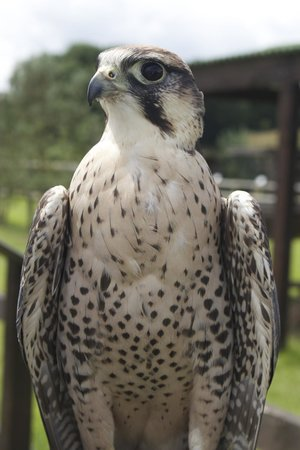Vale Royal Falconry Centre: Lanner Falcon