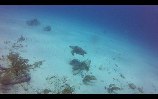 Akumal Dive Shop : Turtle