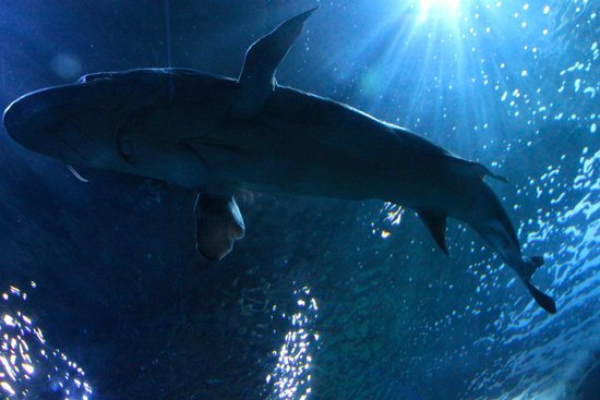 "Aquarium of the Bay : Shark from the ""Tube"""