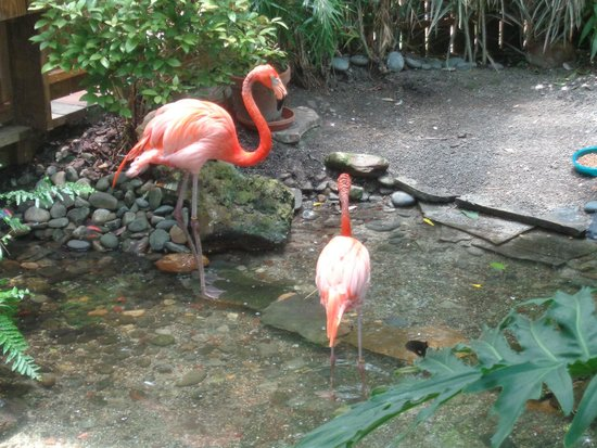 Key West Butterfly and Nature Conservatory: Pink Flamingos