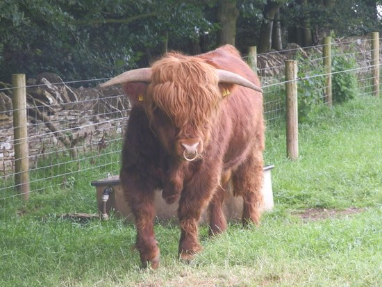 Cotswold Farm Park: Gay bull
