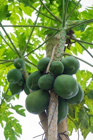 Posada Amazonas: papayas at farm we visited