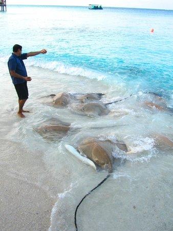 Reethi Beach Resort: Sting Ray Feeding