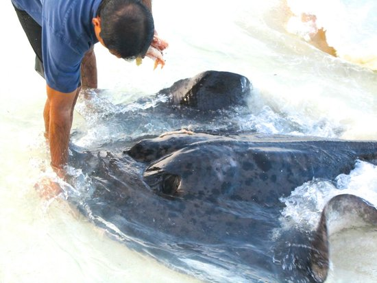 Reethi Beach Resort: Feeding the Sting Ray