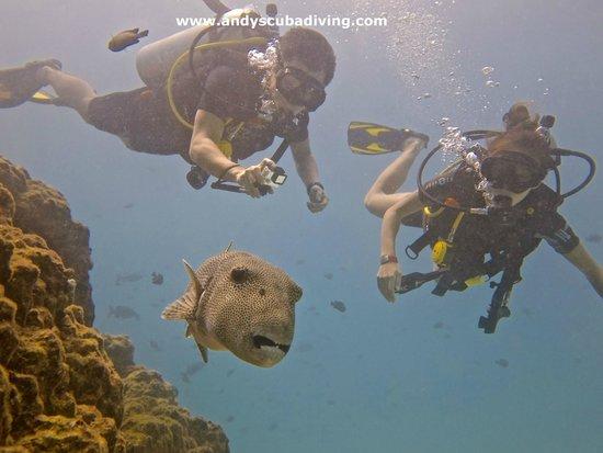 Andys Scuba Diving Phuket : Giant Puffer