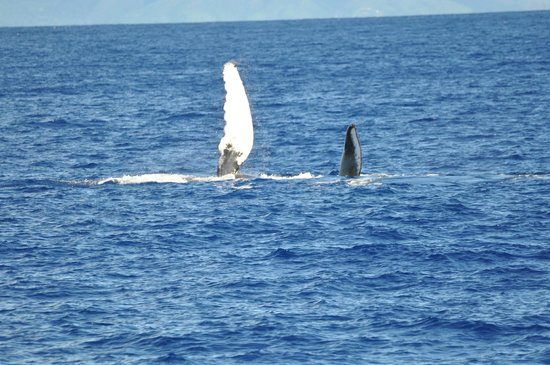 Whales in Maui : Humpback whale fin and part of tail