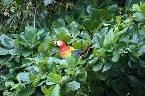 Casa Horizontes Corcovado : Scarlet Macaw