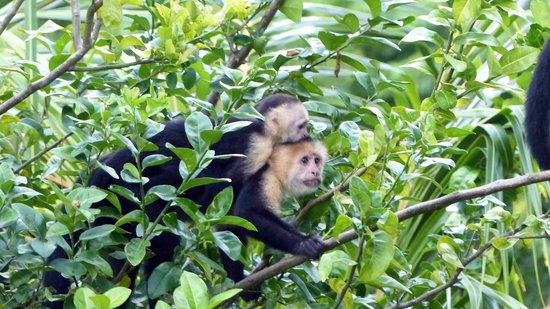 Casa Horizontes Corcovado : Capuchin Monkeys were visiting us in the morning