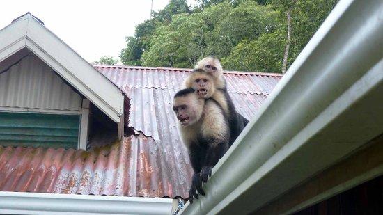 Casa Horizontes Corcovado: Capuchin Monkeys