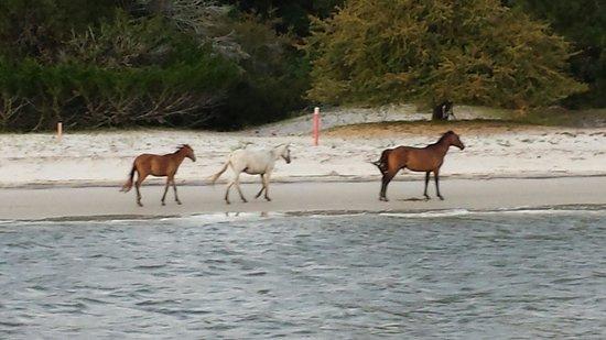 Amelia River Cruises: Wild horses on Cumberland island. Awesome!