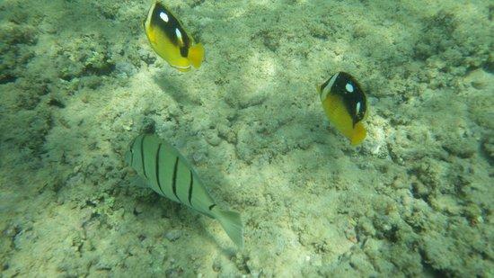 Poipu Sands Condominuims - Poipu Kai by TPC: Snorkeling