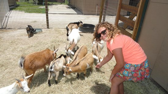 Big Cat Habitat and Gulf Coast Sanctuary: feeding goats