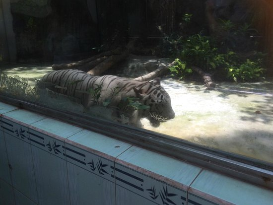 Zoo and Botanical Gardens: skinny white tiger