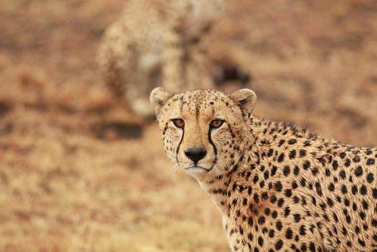 Saruni Mara: Cheetah