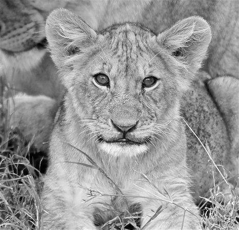 Saruni Mara: Lion Cub
