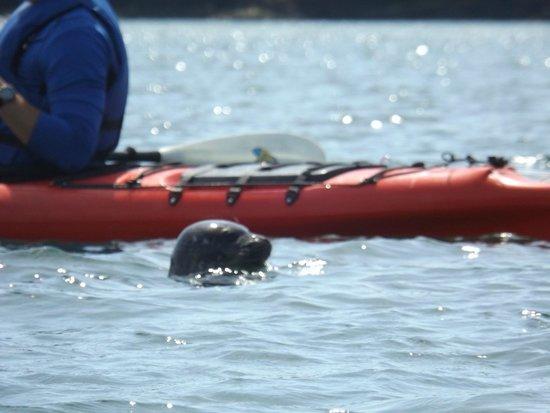 Maine State Sea Kayak: Seal at the kayak