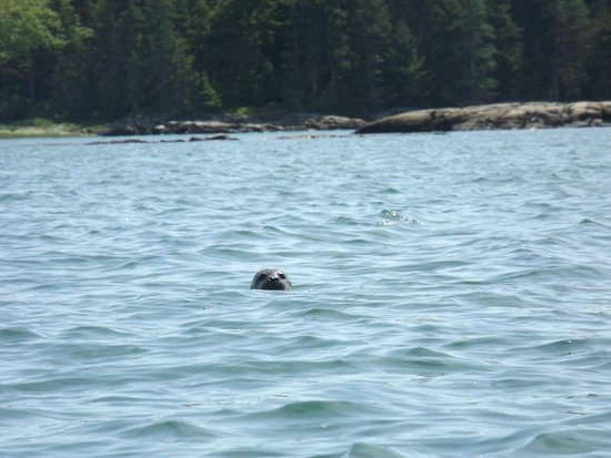 Maine State Sea Kayak : Seal in the water