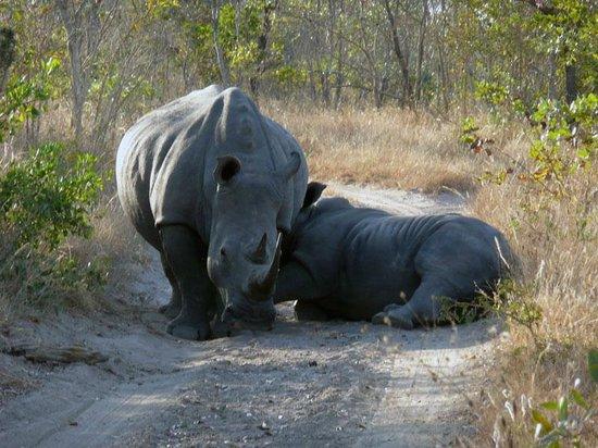 Elephant Plains Game Lodge : A baby white rhino gets a feed!