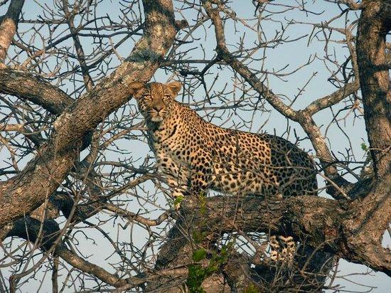 Elephant Plains Game Lodge : A leopard views lions at a kill
