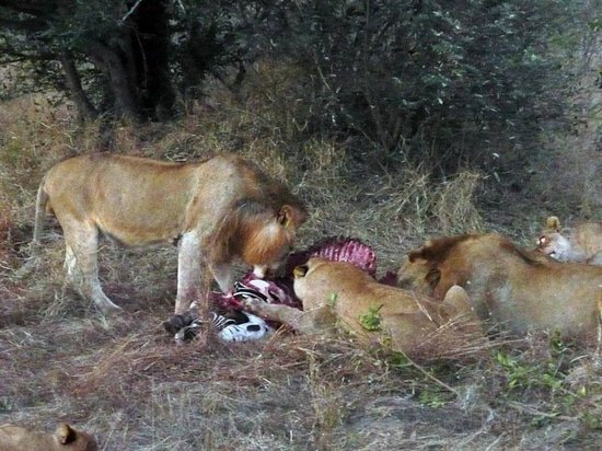 Elephant Plains Game Lodge: Lions at a zebra-kill