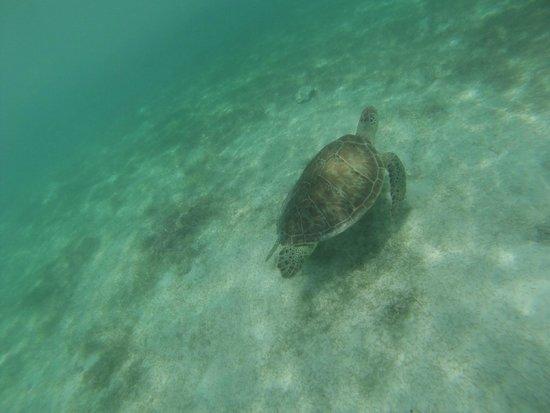 Plage d'Akumal: Tortuga marina