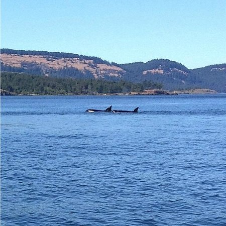 Eagle Wing Whale Watching Tours: Transient Orca Pod
