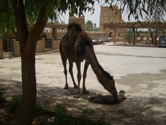 Kasbah Hotel Xaluca Arfoud: Mother camel & newborn calf