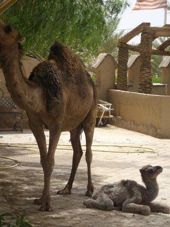 Kasbah Hotel Xaluca Arfoud : Camel Stables