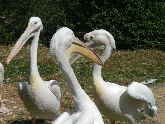 Parc animalier de Gramat : pélican