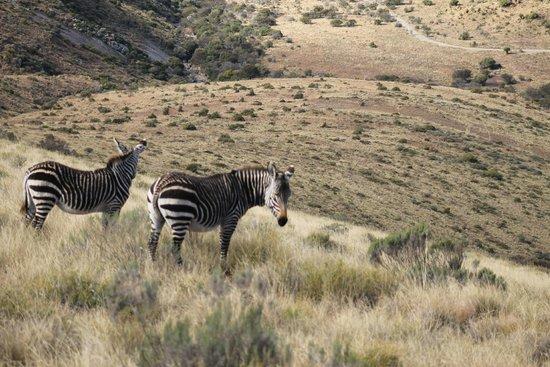 Mountain Zebra National Park: The rare Mountain Zebra