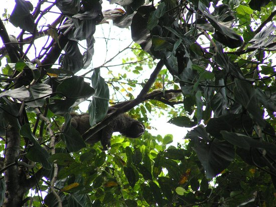 Hotel Shawandha Lodge : Luiaard die vlakbij onze lodge in de boom hing