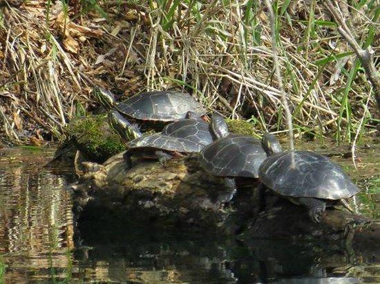 Robert W. Monk Public Gardens: Family of turtles near pond