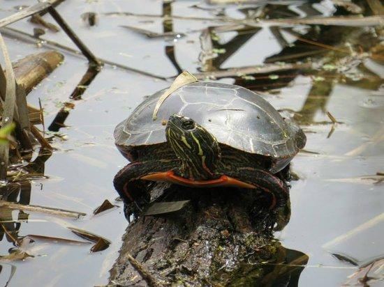 Robert W. Monk Public Gardens: Turtle near pond