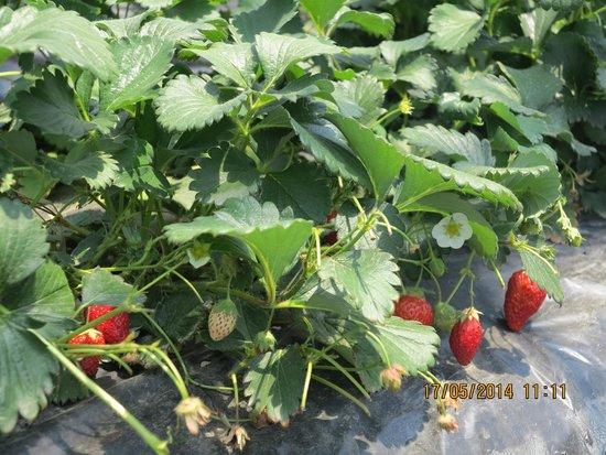 Tondabayashi Savor Farm : Savor Strawberry Farm