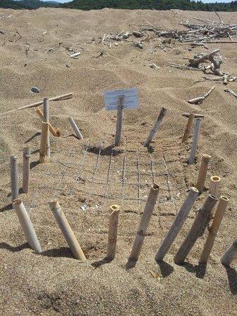 Irida Resort Suites: Nido di tartarughe segnalato sulla spiaggia