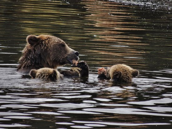 Tide Rip Grizzly Tours: Sharin with her cubs