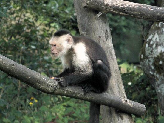 La Vallee des Singes : Un capucin