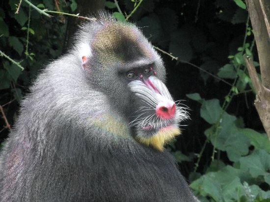 La Vallee des Singes : Mandrill