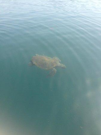 Apollonion Resort & Spa Hotel: turtle in argostoli, 10.00am