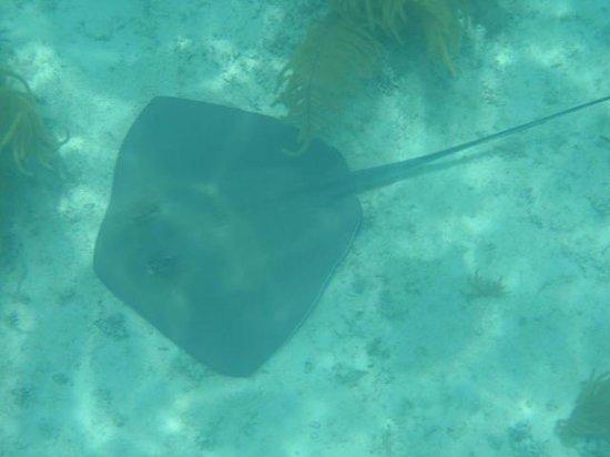 Danger Charters: Stingray during Danger charter snorkel