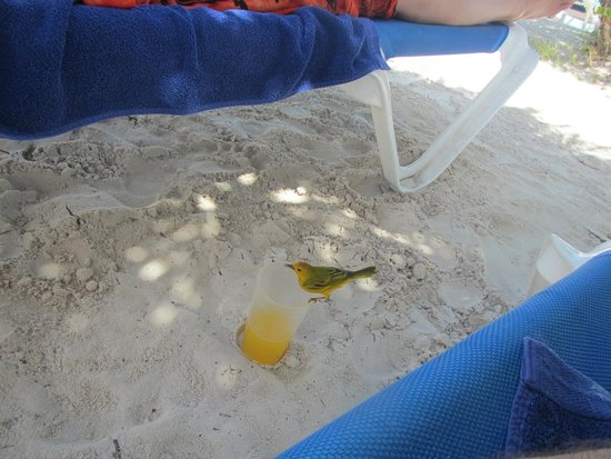 The Verandah Resort & Spa : the birds were very brave and loved the tropical drinks