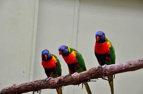 National Aviary: Lorikeets
