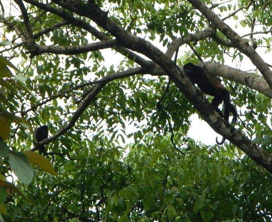 Las Islas Lodge: Howler Monkeys in trees in front of cabins