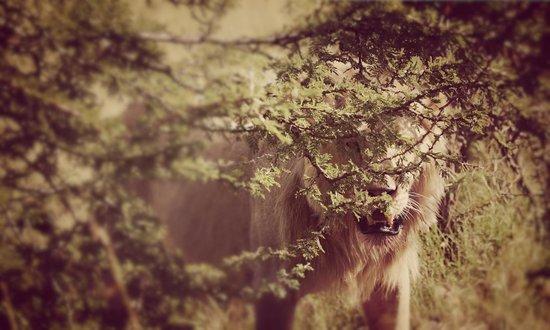 Mahali Mzuri - Sir Richard Branson's Kenyan Safari Camp: Lion after eating wildebeest.