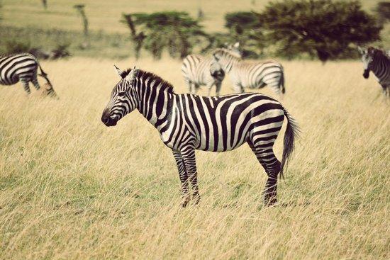 Mahali Mzuri - Sir Richard Branson's Kenyan Safari Camp: Zebra and wildebeest galore.
