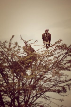 Mahali Mzuri - Sir Richard Branson's Kenyan Safari Camp: Voltures.