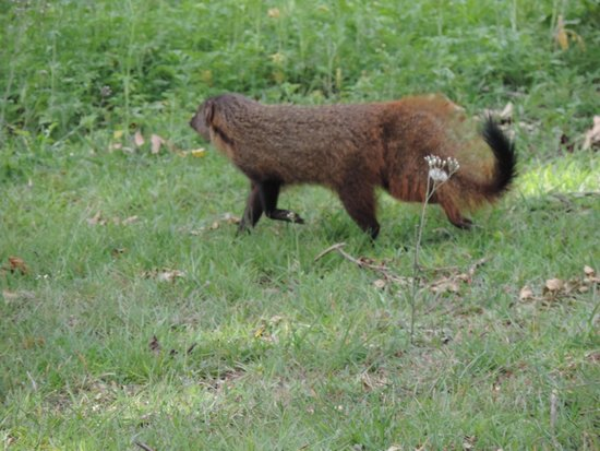 Bandipur National Park and Tiger Reserve: Mongoose