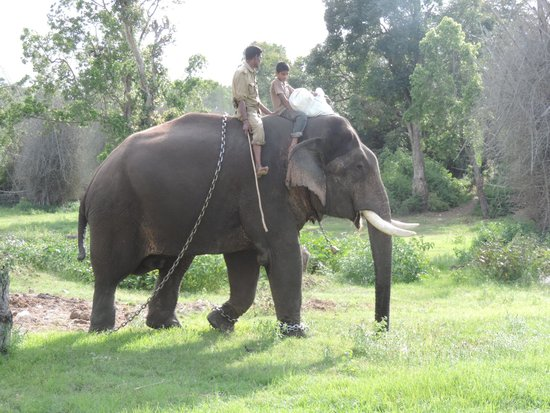 Bandipur National Park and Tiger Reserve: Domesticated Elephant