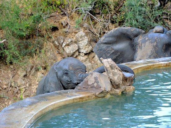 Impodimo Game Lodge : Elefantes en la Pileta