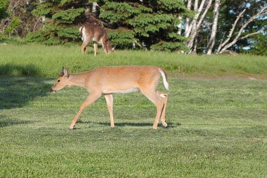 Lighthouse Bed & Breakfast: Friendly deer visitors